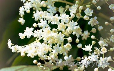 Recepty z kvetov bazy: Voňavý azdravý bazový med a sirup