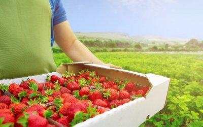 Poď na samozber jahôd 2021: Toto je TOP 7 jahodovísk na Slovensku