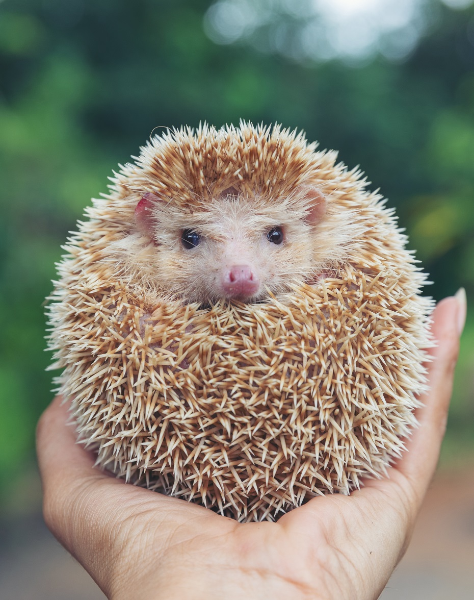 sen o ježkovi
