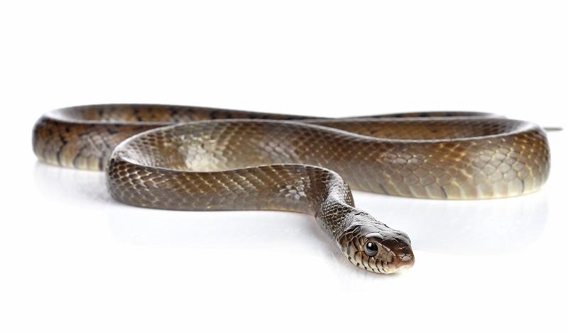výklad sna had