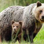 Snár: Zisti, čo signalizuje medveď v sne – dôležitá je farba i aktivita