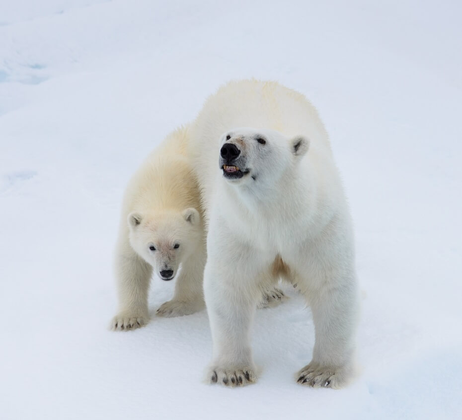 polárny medveď v sne