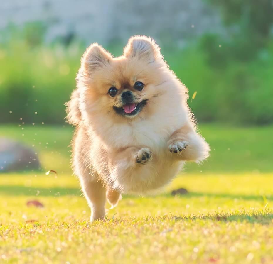 snár pes