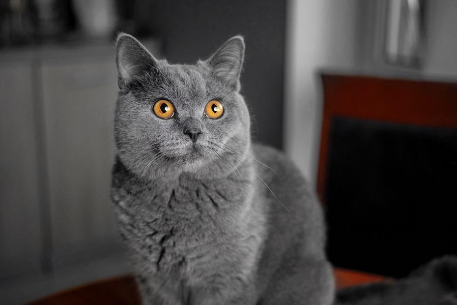 sivá mačka v sne