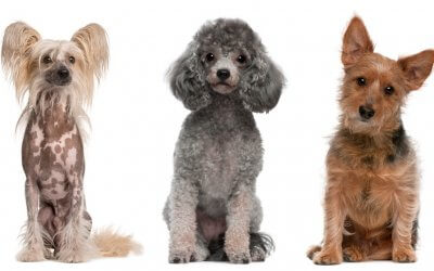 Najlepší pes pre alergikov? Tieto 3 plemená sú TOP