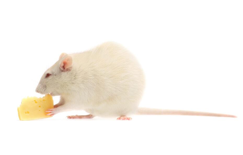 biela myš v sne