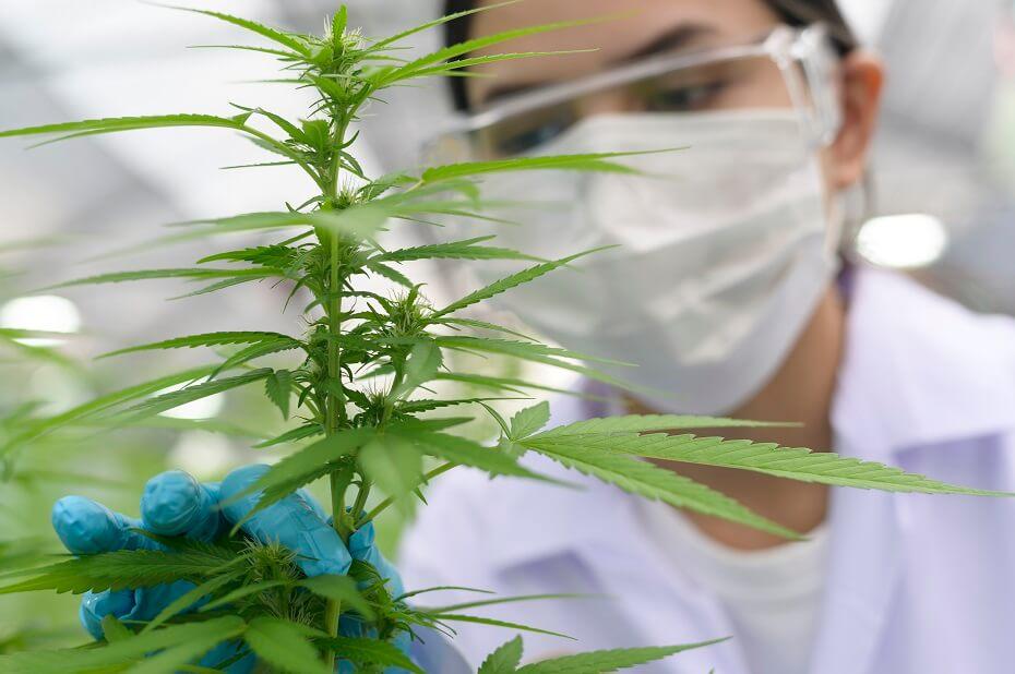 liečivé účinky marihuany