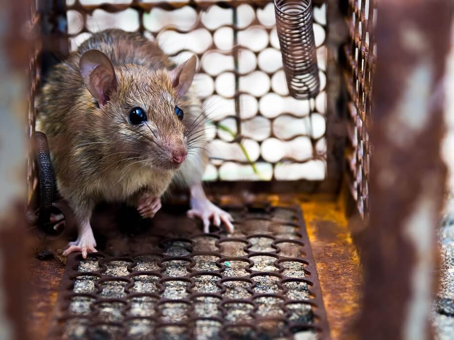 snár myš v pasci