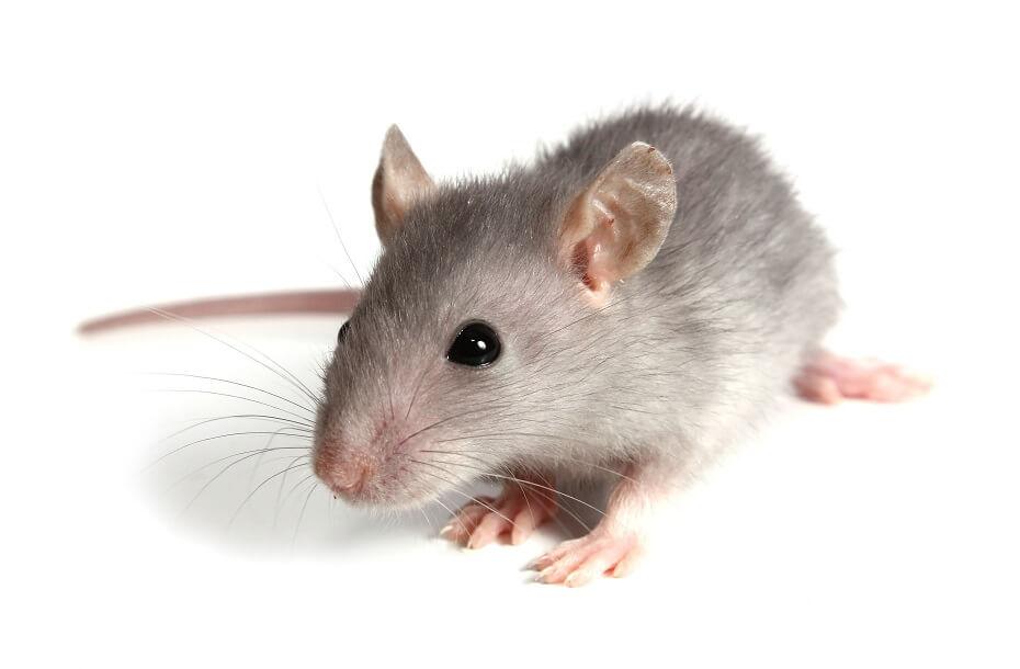 snár myš